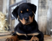 Papered Rottweiler Puppies Both M/F Avail TEXT : (((( 858 x 522 x 0713 )))))*