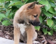 Shiba Inu Puppies Both M/F Avail TEXT : (((( 858 x 522 x 0713 )))))*