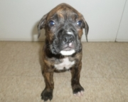 Brindle Boxer Puppies Both M/F Avail TEXT : (((( 858 x 522 x 0713 )))))*