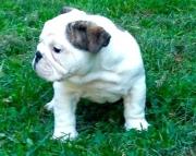 English Bulldog Puppies Both M/F Avail TEXT : (((( 858 x 522 x 0713 )))))*