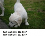 poyhj Golden retriever puppies ready now