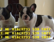 respectablefrench bulldog puppies now for sale text# (323)X 538 X 5827