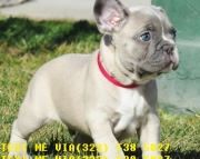 playful french bulldog puppies now for sale text# (323)X 538 X 5827