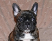 bermise french bulldog puppies now for sale text# (323)X 538 X 5827