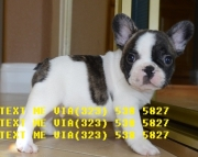 Jovial french bulldog puppies now for sale text# (323)X 538 X 5827