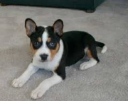 Best Ever Basenji puppies available