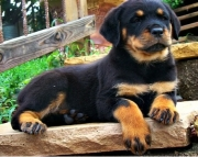 Fantastic Rottweiler Puppies For Sale