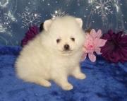 Sweet Tea Cup Pomeranian Pups For Sale