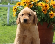 AKC Golden Retriever puppies for sale