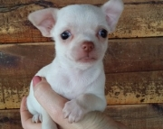 Stunning Small Chihuahua pups Ready