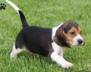 Beautiful Pedigree Beagle Puppies for sale