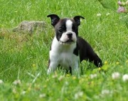 Cute Boston Terrier Puppies Ready Now