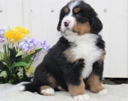 4 Bernese Mountain Dog Boys and Girls Puppies