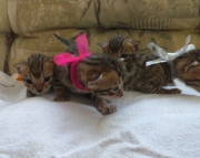 standable  Bengal kitten ready text us at (801) 610 x9662