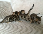 fine Bengal kitten ready text us at (801) 610 x9662