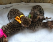 dacig  Bengal kitten ready text us at (801) 610 x9662