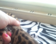 Trained with kids  Bengal kitten ready text us at (801) 610 x9662