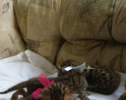 fast  Bengal kitten ready text us at (801) 610 x9662