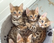 Classic Bengal kitten ready text us at (801) 610 x9662