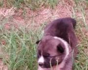 Akita Puppy Vet Check