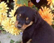 Rottweiler Puppy With Toys