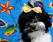 smart havanese puppy