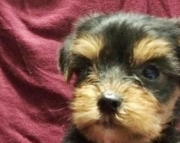 cute yorkieshire  puppy