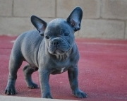 M/F Clean and Nice French BulldogS