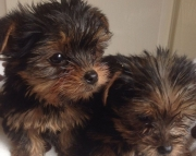 M/F Clean Yorkshire Terrier Available Now