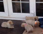 M/F Clean Golden Retreiver Available Now