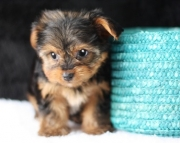 Beautiful Teacup Yorkshire Terrier Puppies for sale ready(208)557-3051