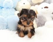Amazing Teacup Yorkshire Terrier Puppies for sale vet(208)557-3051