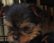 Q M/F Clean Yorkshire Terrier Available Now