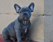 Q M/F Clean and Nice French BulldogS