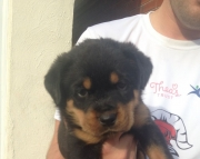 Q Q M/F Clean and smart Rottweiler puppies