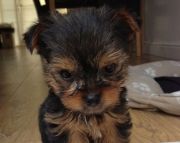 W M/F Clean Yorkshire Terrier Available Now