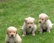 W M/F Clean Golden Retreiver Available Now