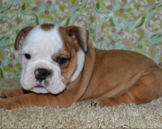 All Set English Bulldog Puppies for Sale Akc Now(208)557-3051