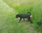 E M/F Clean and smart Rottweiler puppies