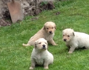 R M/F Clean Golden Retreiver Available Now