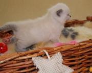 R Nice Blue British Shorthair Kittens