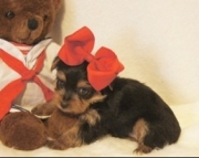 Enjoyable Teacup Yorkshire Terrier Pupies for sale akc(208)557-3051