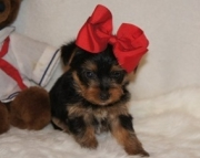 Easy to approach Teacup Yorkshire Terrier Puppies for sale(208)557-3051