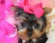 Ennobled Teacup Yorkshire Terrier Puppies for sale akc vet(208)557-3051