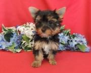 Energetic Teacup Yorkshire Terrier Puppies for sale(208)557-3051