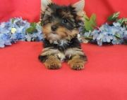Engrossed Teacup Yorkshire Terrier Puppies for sale akc(208)557-3051