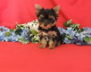 Engaged Teacup Yorkshire Terrier Puppies for sale akc(208)557-3051