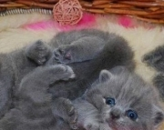 T Nice Blue British Shorthair Kittens