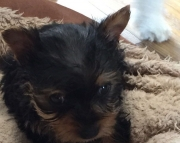 T M/F Clean Yorkshire Terrier Available Now