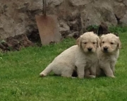 Y M/F Clean Golden Retreiver Available Now